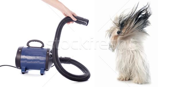 фен собака белый черный ветер животного Сток-фото © cynoclub