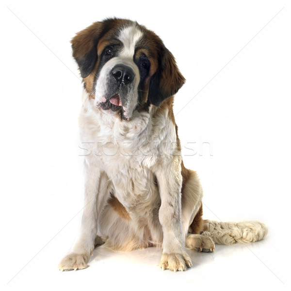 Saint Bernard Stock photo © cynoclub