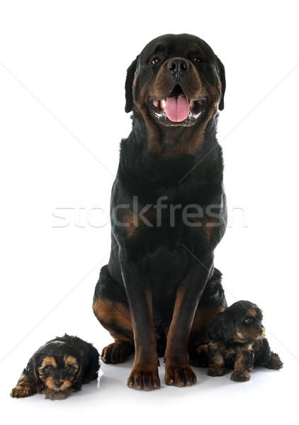 Rottweiler yavru portre yorkshire terriyer Stok fotoğraf © cynoclub