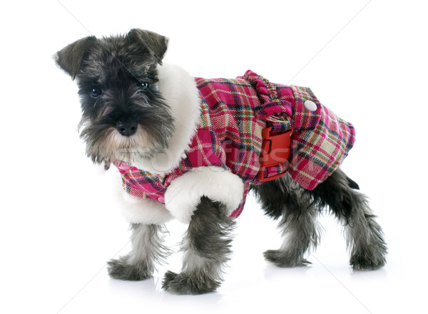 dressed puppy Miniature Schnauzer Stock photo © cynoclub