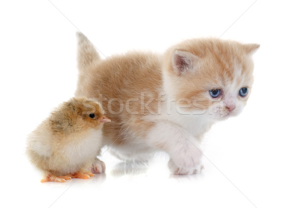 Kedi yavrusu civciv beyaz kedi arkadaşlar kuş Stok fotoğraf © cynoclub