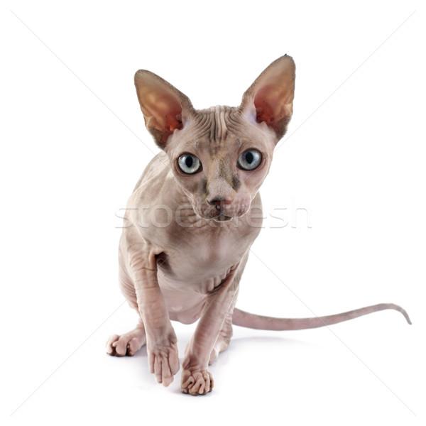 スフィンクス 毛のない 猫 白 ストックフォト © cynoclub