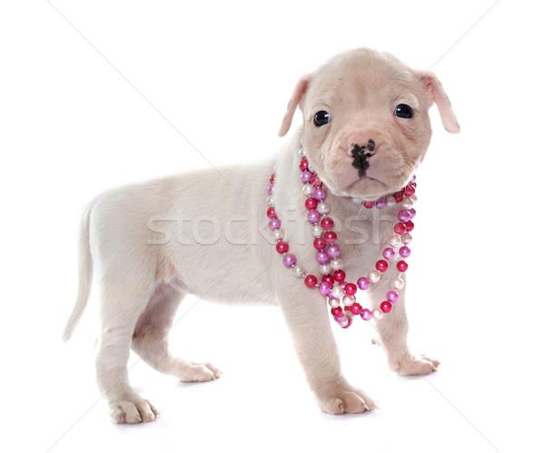 щенков Американский бульдог белый собака молодые Pearl Сток-фото © cynoclub