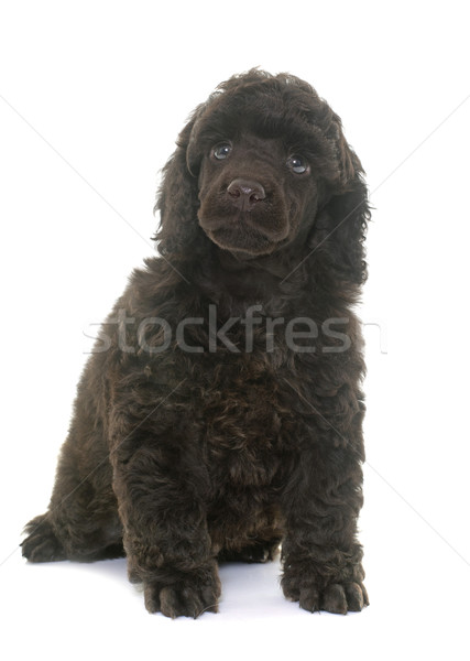 puppy brown poodle Stock photo © cynoclub
