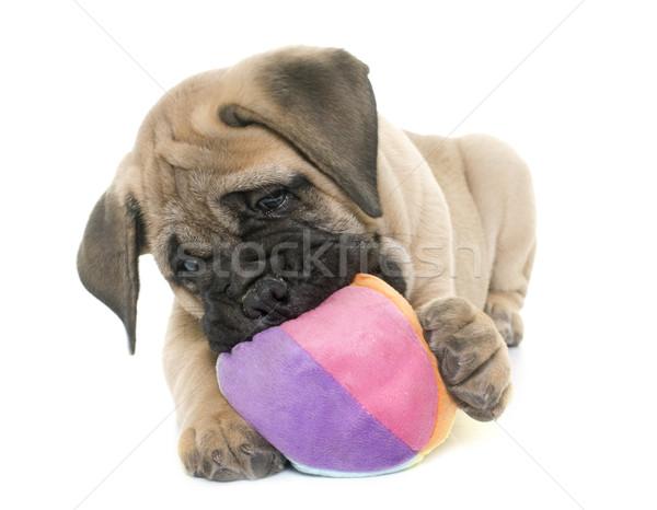щенков бык дог играет белый мяча Сток-фото © cynoclub