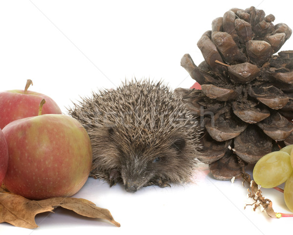 hedgehog in autum Stock photo © cynoclub