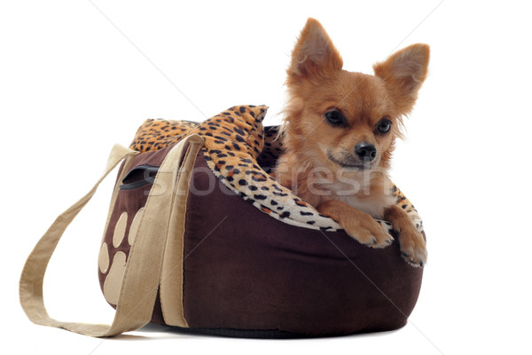 travel bag and chihuahua Stock photo © cynoclub