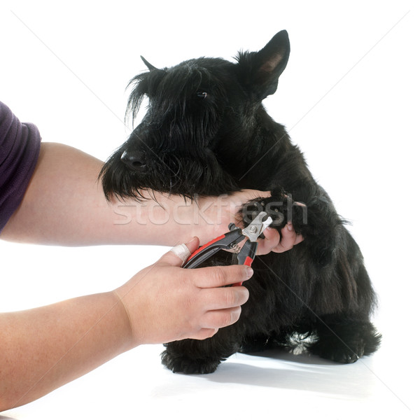 scottish terrier Stock photo © cynoclub