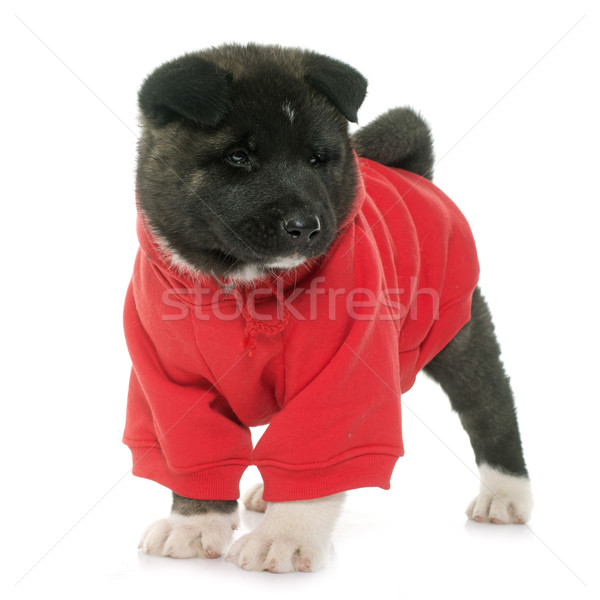 dressed puppy american akita Stock photo © cynoclub