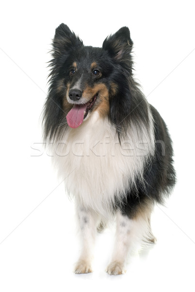 Volwassen herdershond witte hond zwarte jonge Stockfoto © cynoclub