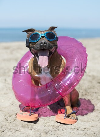 staffordshire terrier on the beach Stock photo © cynoclub