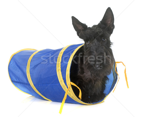 young scottish terrier in tunnel Stock photo © cynoclub