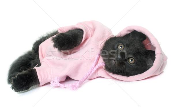 Maine kiscica elöl macska hát fekete Stock fotó © cynoclub
