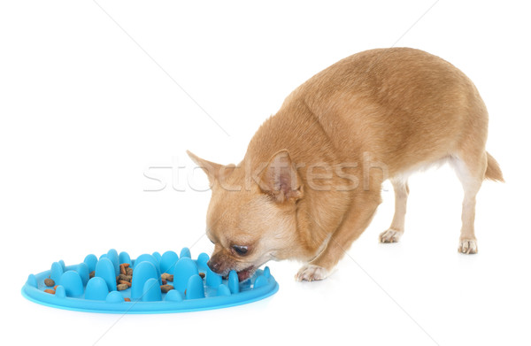 chihuahua eating in studio Stock photo © cynoclub