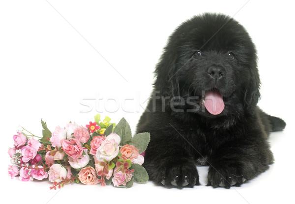 Szczeniak nowa fundlandia psa biały kwiat zwierząt Zdjęcia stock © cynoclub