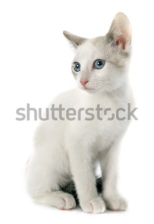 Tricolor exotique shorthair chat chiches blanche Photo stock © cynoclub