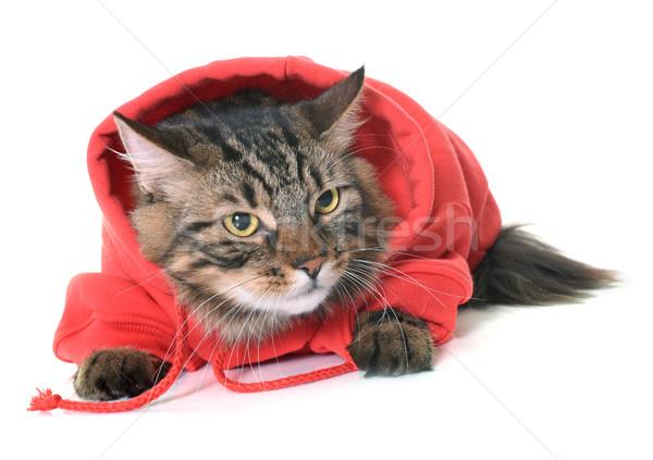 Maine kat witte Rood dier studio Stockfoto © cynoclub