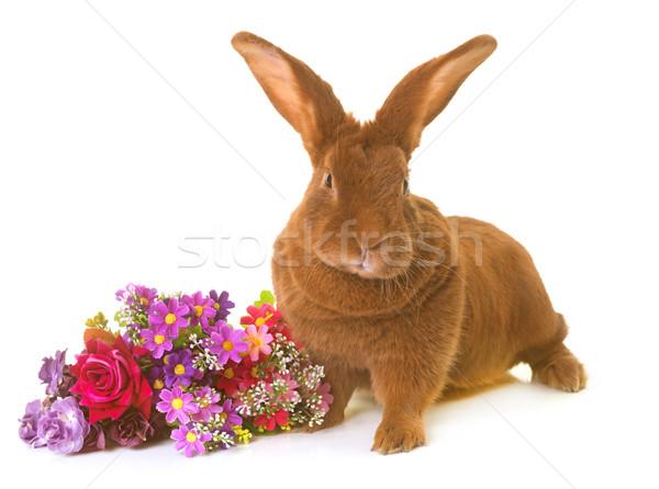 Fauve de Bourgogne rabbit Stock photo © cynoclub