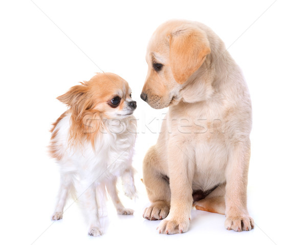Stockfoto: Puppy · labrador · retriever · hond · jonge · huisdier · labrador