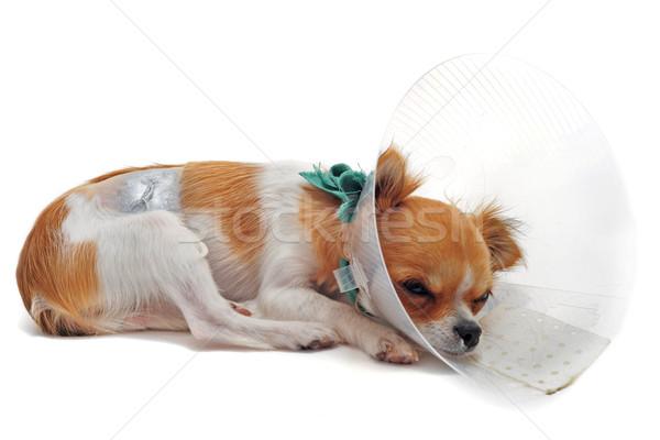 операция ветеринарный хирургический собака животного Сток-фото © cynoclub