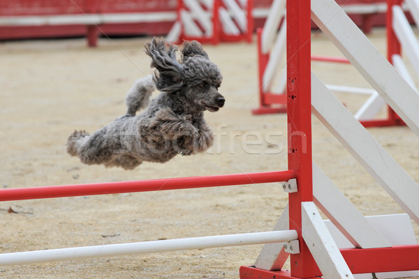 poodle in agility Stock photo © cynoclub