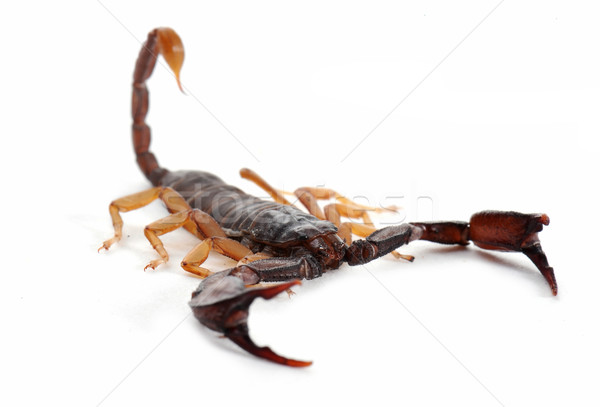 brown scorpion Stock photo © cynoclub