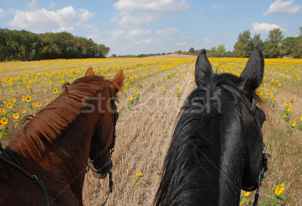 horseback riding in the sunflowers Stock photo © cynoclub
