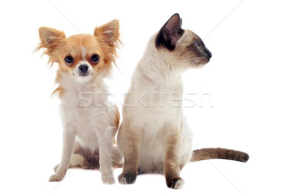 котенка белый кошки студию щенков Сток-фото © cynoclub