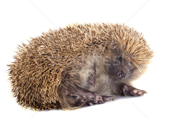 hedgehog  Stock photo © cynoclub
