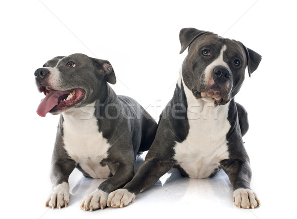 two american staffordshire terrierw Stock photo © cynoclub
