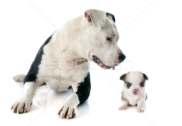 american staffordshire terrier and chihuahua Stock photo © cynoclub