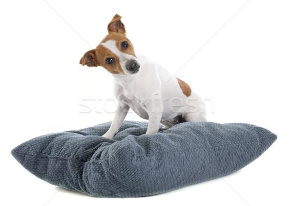 Terrier retrato estudio perro blanco Foto stock © cynoclub
