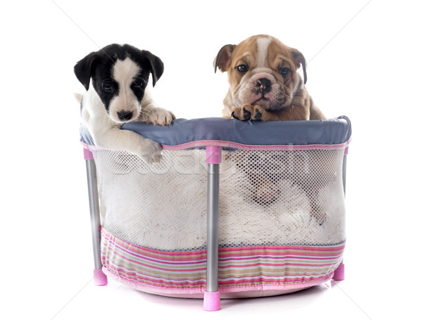 puppies in pen Stock photo © cynoclub