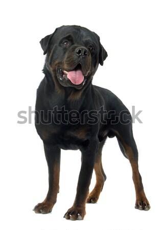 Rottweiler biały domowych odizolowany dorosły Zdjęcia stock © cynoclub