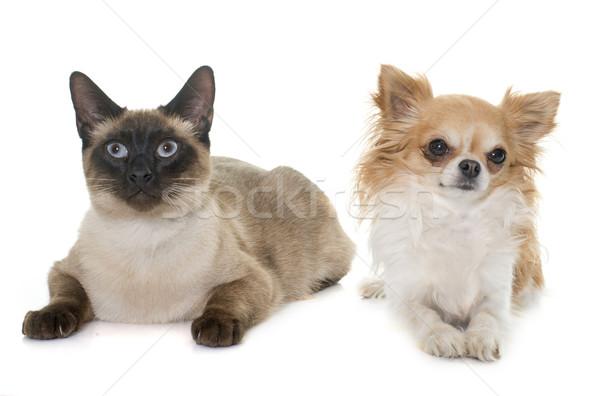 Fiatal sziámi macska kutya szemek kutyakölyök kiscica Stock fotó © cynoclub