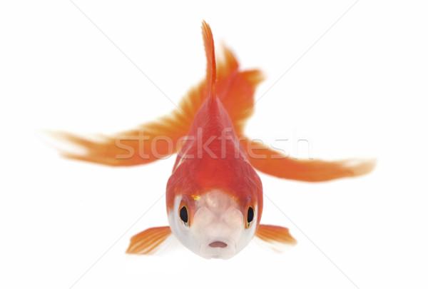金魚 水族館 赤 白 ストックフォト © cynoclub