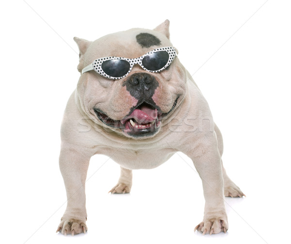 Stock photo: white american bully and sunglasses