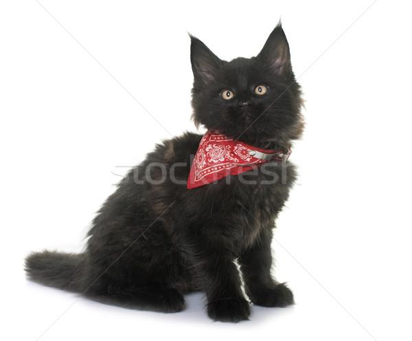 Maine kitten witte kat zwarte Stockfoto © cynoclub