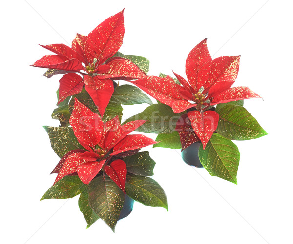 Euphorbia Poinsettia in studio Stock photo © cynoclub