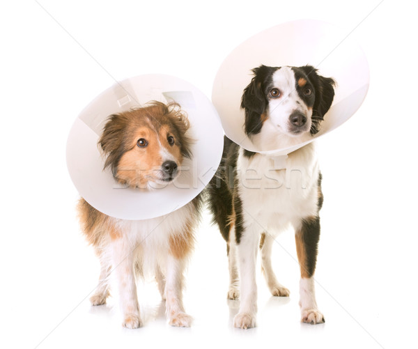 Stock photo: two dogs and protective collar
