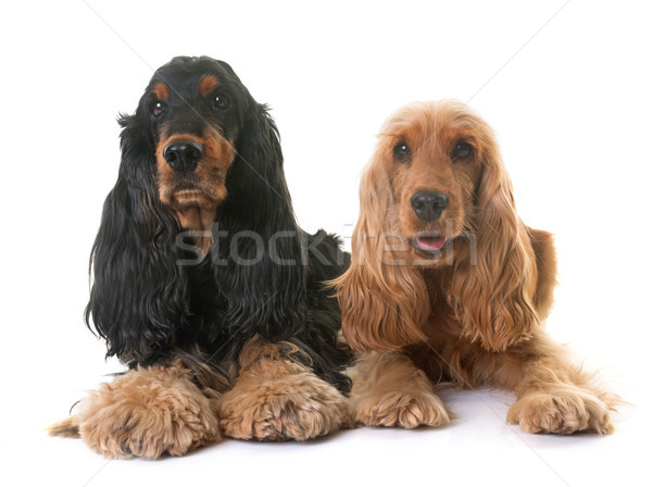 Deux studio chien couple chiot Homme Photo stock © cynoclub