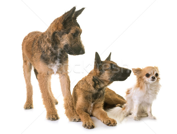 puppies belgian shepherd laekenois and chihuahua Stock photo © cynoclub