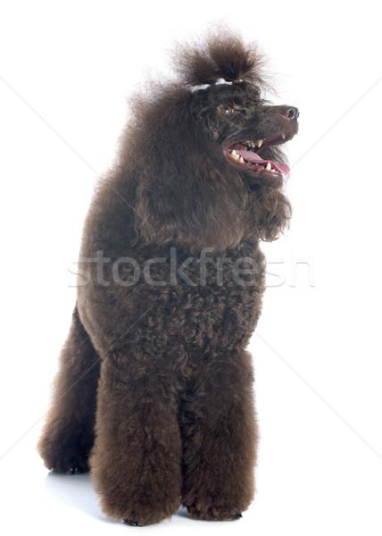 Foto stock: Marrom · poodle · belo · branco · feminino · cachorro
