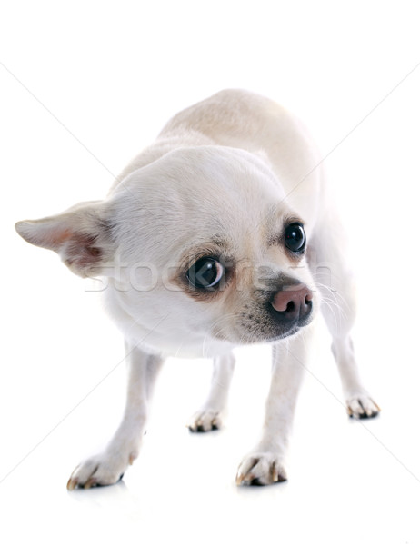 afraid chihuahua Stock photo © cynoclub