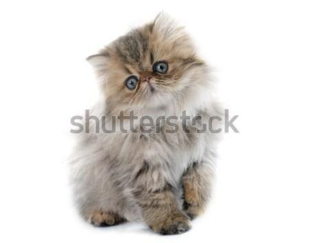 american curl cat Stock photo © cynoclub
