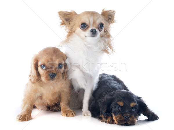 puppies cavalier king charles and chihuahua Stock photo © cynoclub