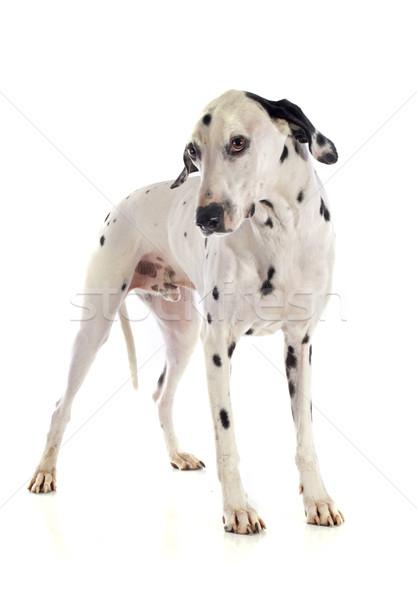далматинец собака белый черный мужчины ПЭТ Сток-фото © cynoclub