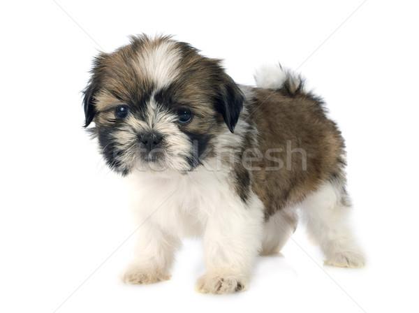 puppy shitzu Stock photo © cynoclub
