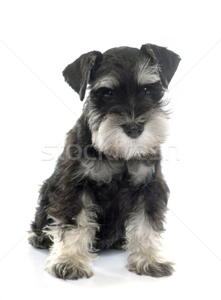 Welpen Miniatur Schnauzer weiß Hund Stock foto © cynoclub