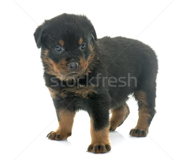 Jonge puppy rottweiler witte Stockfoto © cynoclub
